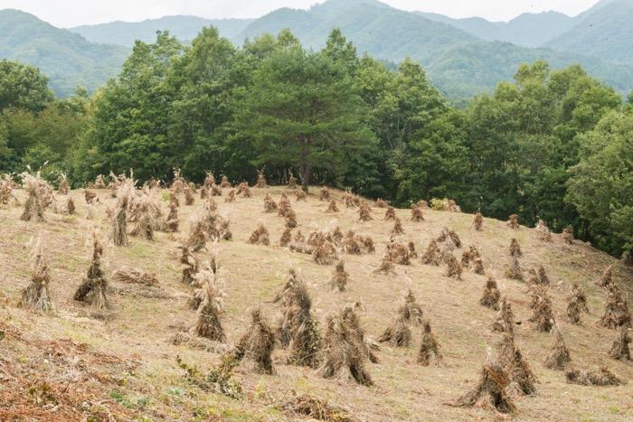 土呂部地区の茅ボッチが見頃を迎えています